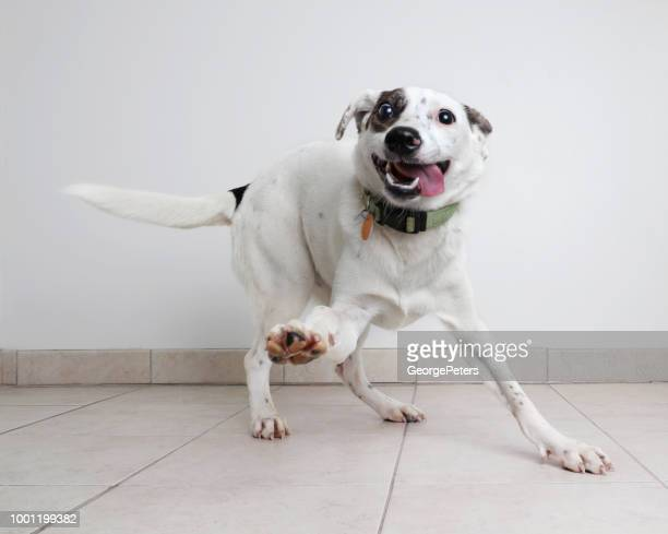 energetic australian cattle dog mixed breed dog hoping to be adopted - funny animals stock pictures, royalty-free photos & images