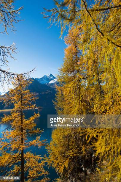 engadine lake and mountains 6 switzerland - european larch stock pictures, royalty-free photos & images