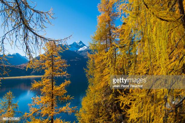 engadine lake and mountains in switzerland - european larch stock pictures, royalty-free photos & images