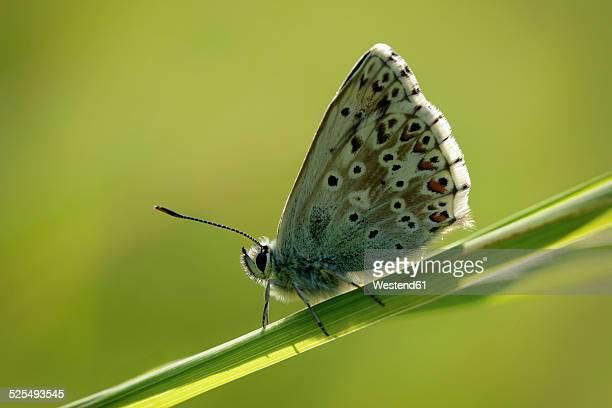 England, Chalkhill Blue, Polyommatus coridon