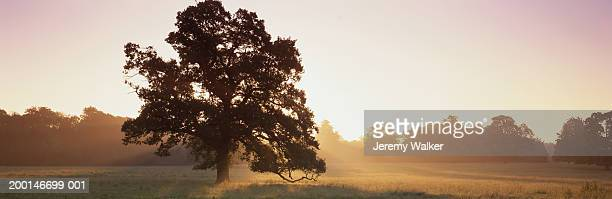 england, dorset, oak tree in meadow, sunrise - meadow walker stock pictures, royalty-free photos & images