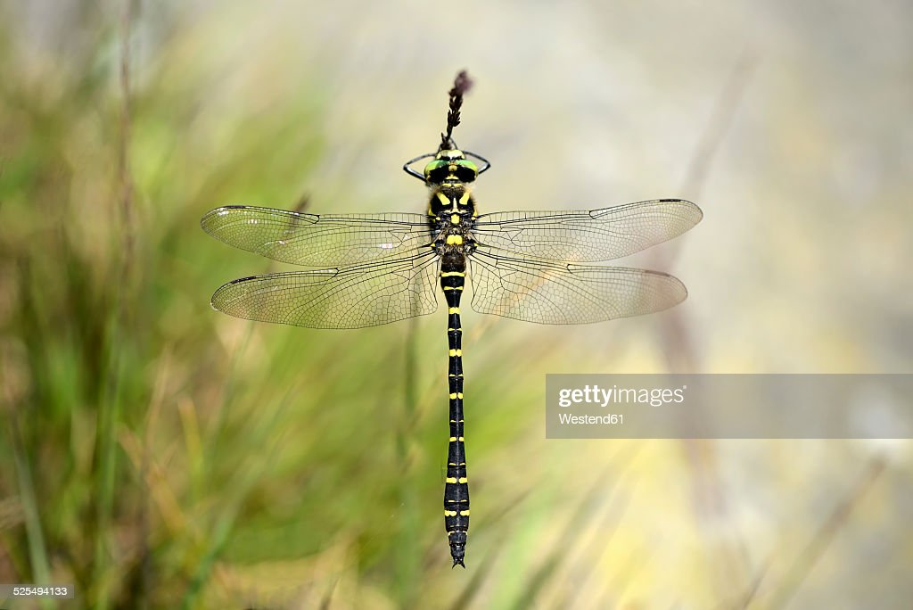 England, Golden-ringed Dragonfly, Cordulegaster boltonii : Stock Photo