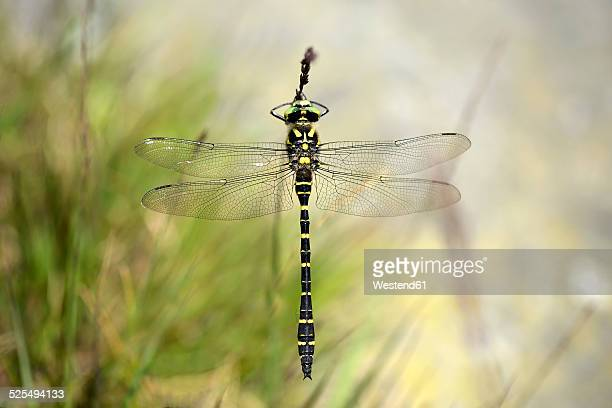 England, Golden-ringed Dragonfly, Cordulegaster boltonii