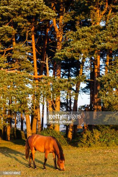 England Hampshire New Forest Horse Grazing and Woodland