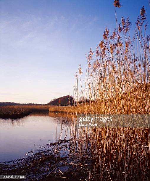 england, hampshire, new forest, lymington, reeds by waters edge - lymington stock photos and pictures