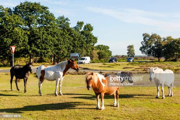 England Hampshire New Forest Ponies and Horses Grazing