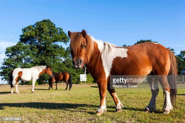 England Hampshire New Forest Ponies Grazing