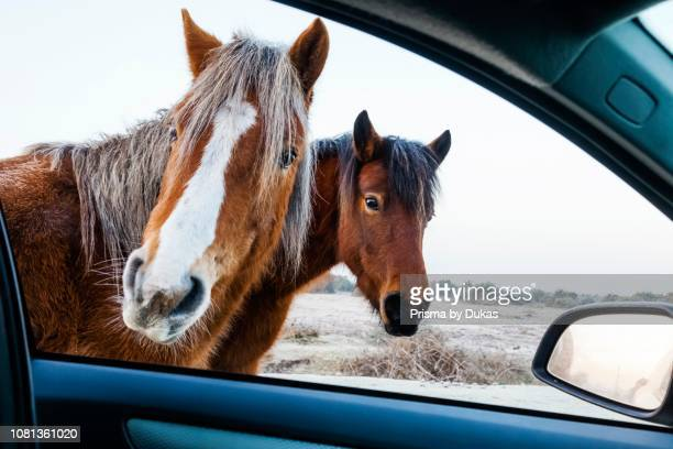 England Hampshire The New Forest Ponies Looking into Car Window