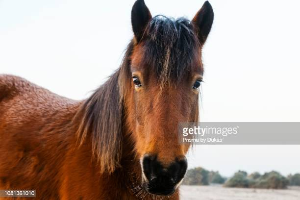 England Hampshire The New Forest Pony