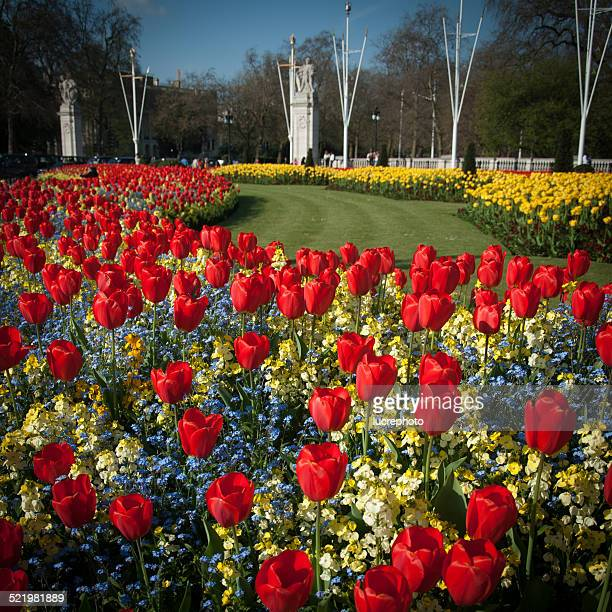 england, london, tulips in front of buckingham palace - buckingham palace stock pictures, royalty-free photos & images
