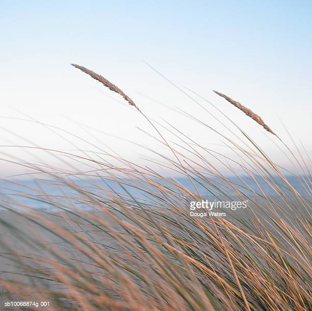 england, norfolk coast, maron grasses on beach - dougal waters stock pictures, royalty-free photos & images