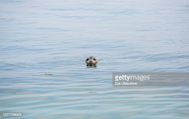 England Northumberland Farne Island North Atlantic Grey Seal Halichoerus Grypus with head above water