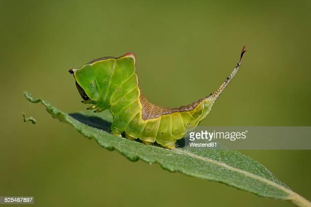 England, Puss Moth, Cerura vinula, Caterpillar