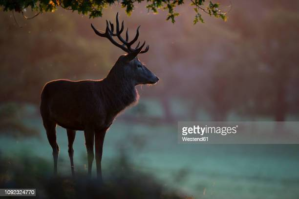 england, red deer, cervus elaphus - veado macho - fotografias e filmes do acervo