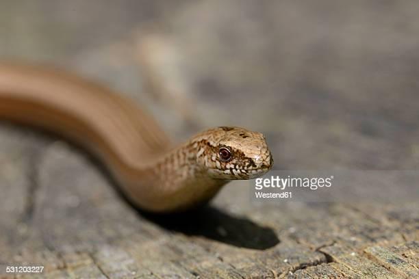 england, slow worm, anguis fragilis - orvet photos et images de collection