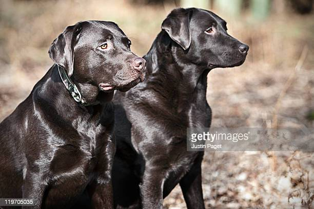 UK, England, Suffolk, Thetford Forest, Black labrador pair with shiny coat