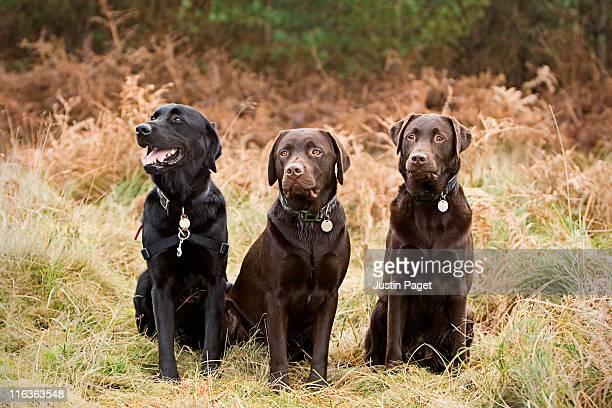 UK, England, Suffolk, Thetford Forest, Portrait of three chocolate labradors