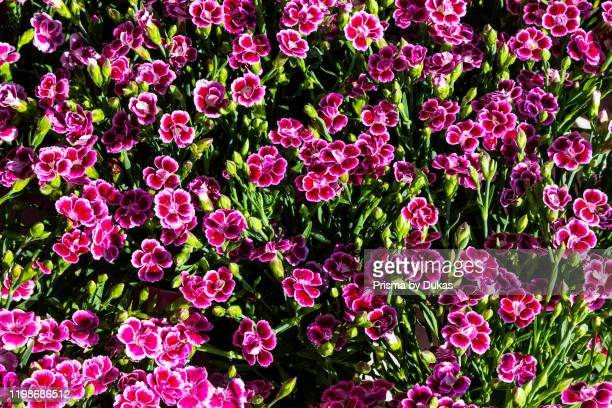England, Surrey, Guildford, Wisley, The Royal Horticultural Society Garden, Flowers in Bloom, 30064274.