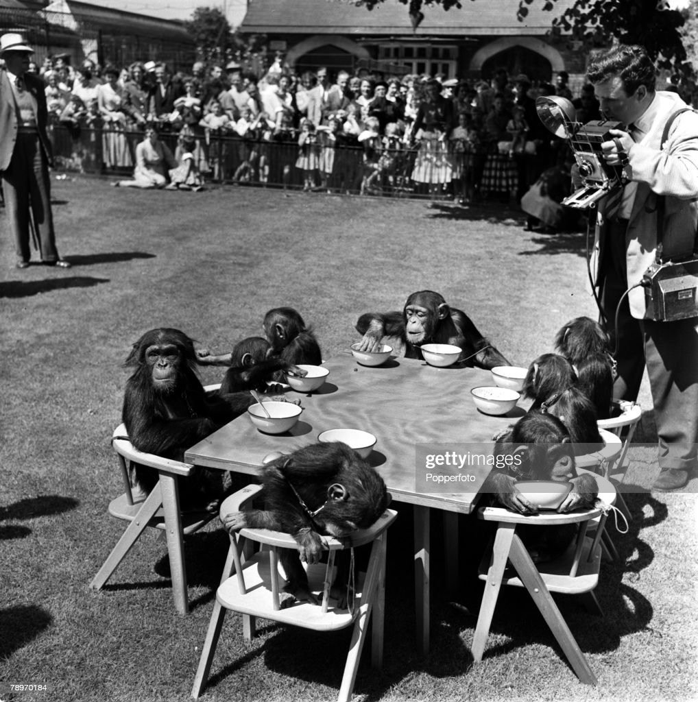 England. 1956. The Chimpanzee\'s Tea Party in London Zoo. Pictures ...