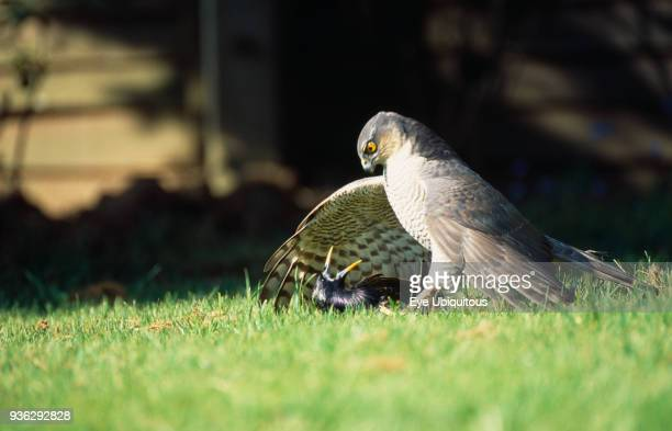 England West Sussex Angmering Sparrowhawk Accipiter nisus Male bird of prey on ground with caught starling