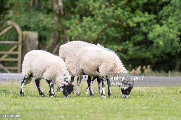 UK England Yorkshire sheep roam and graze on grass at a dairy farm in Goathland