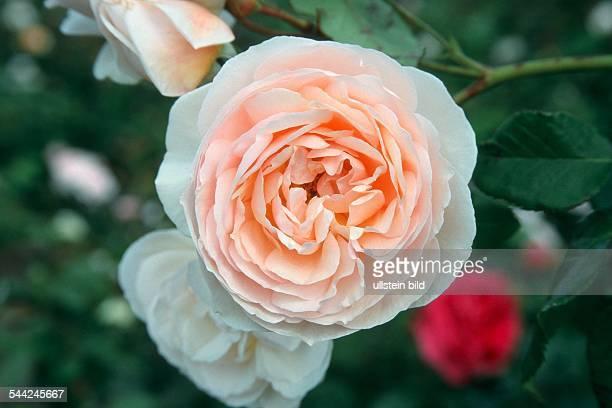 Englische Rose Sorte Heritage Blüte