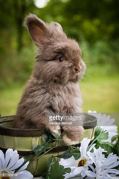 angora rabbit stock photos and pictures getty images
