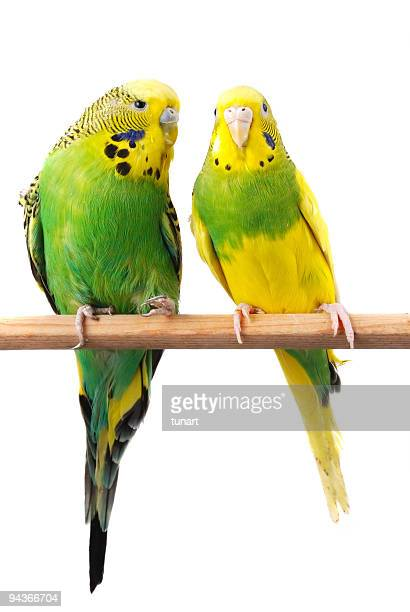 English Budgerigars