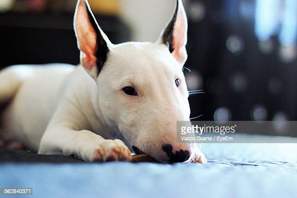 english bull terrier biting stick on bed - bull terrier stock pictures, royalty-free photos & images