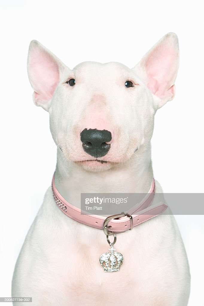 english bull terrier stock photos and pictures getty images