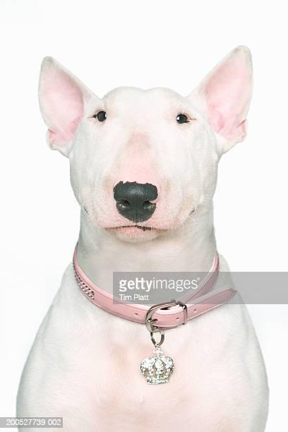 English Bull Terrier in studio