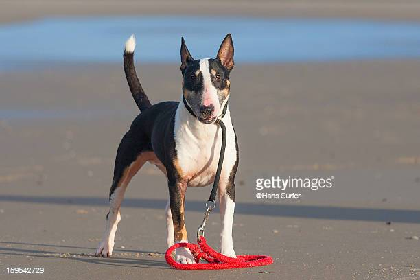 english bull terrier - bull terrier stock photos and pictures
