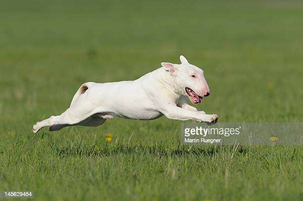 english bull terrier running in a meadow - bull terrier stock pictures, royalty-free photos & images