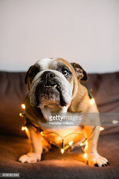 English Bulldog covered in Christmas lights