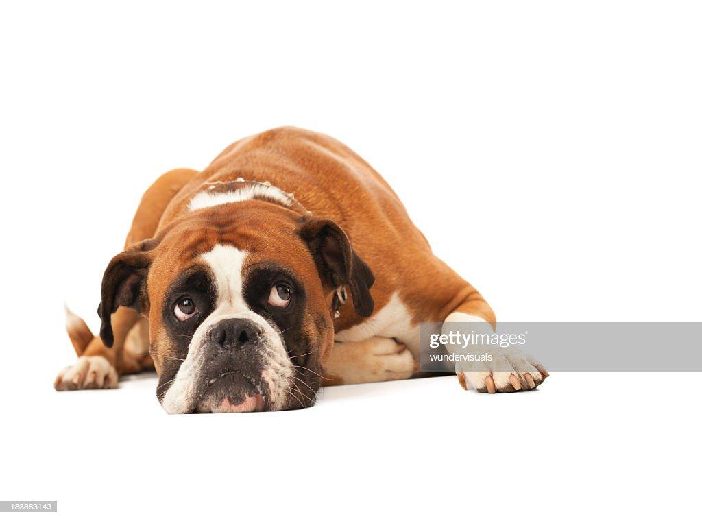 English bulldog lying down and looking up : Stock Photo