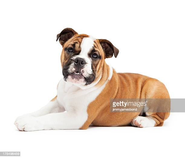 English Bulldog Lying Down