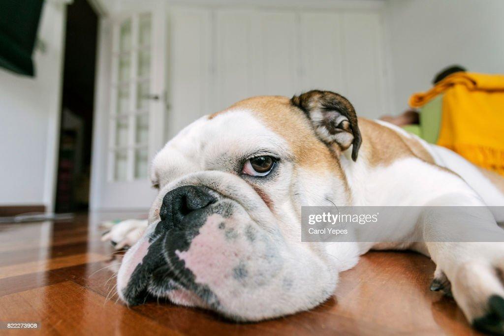 english bulldog lying on floor at home : Stock Photo