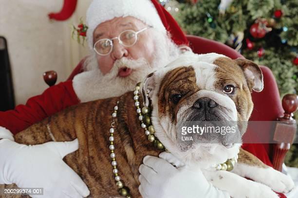 English bulldog lying on Santa's lap