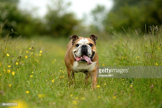 English bulldog on a meadow