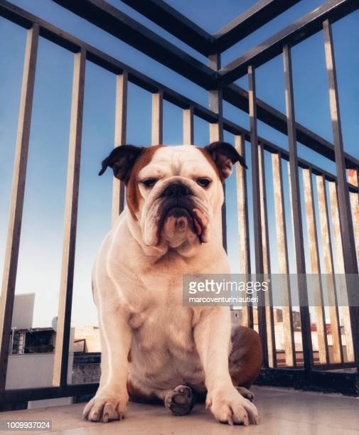 English Bulldog on the balcony of the penthouse
