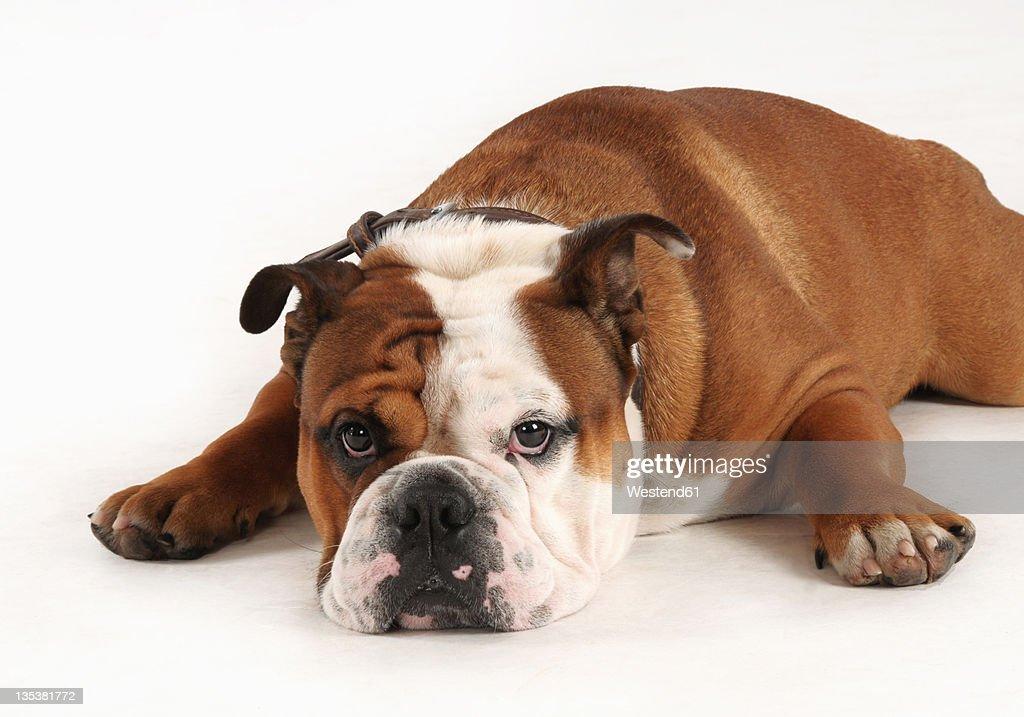English bulldog on white background : Stock Photo