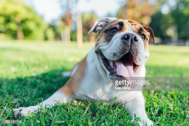 english bulldog playing in the grass - english bulldog stock pictures, royalty-free photos & images