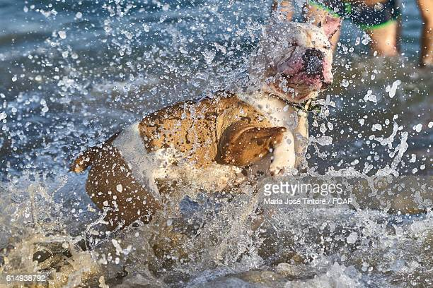 English Bulldog playing in water at sea