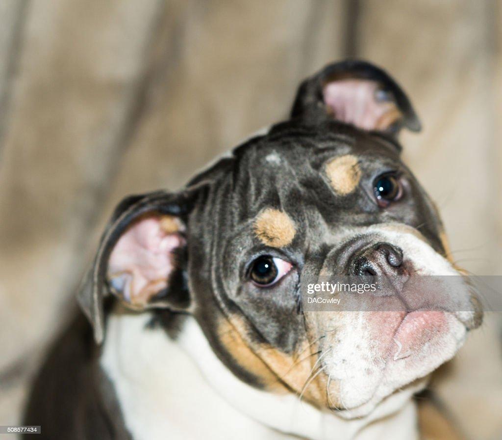 Ritratto di Bulldog inglese : Foto stock