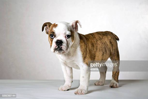 English bulldog pup UK