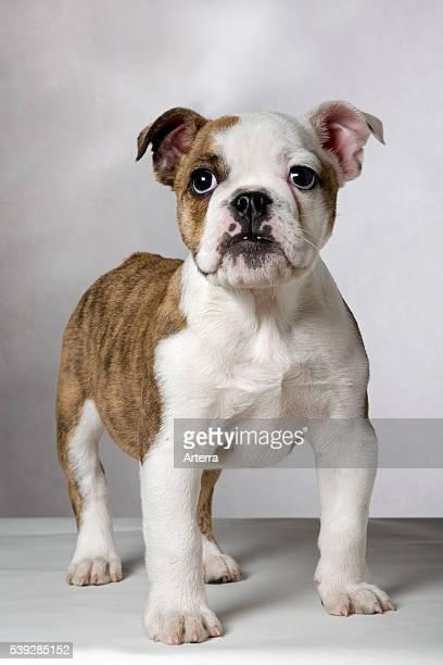 English bulldog pup UK