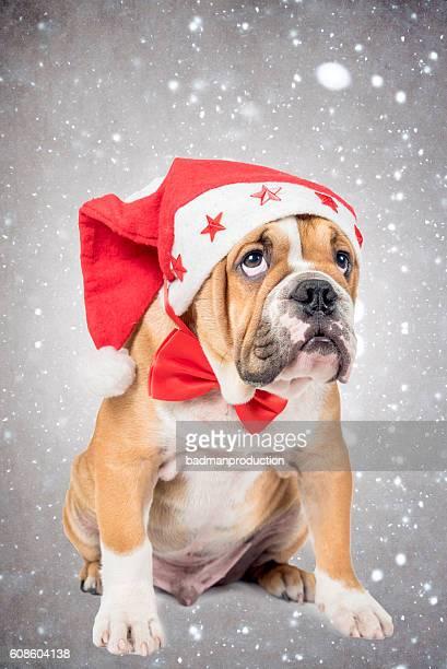 English bulldog pup with Christmas hat