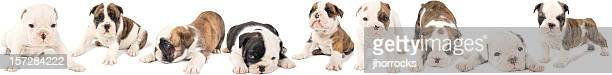 English Bulldog Puppies Litter of Nine