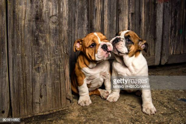 english bulldog puppies - images of ugly feet stock photos and pictures