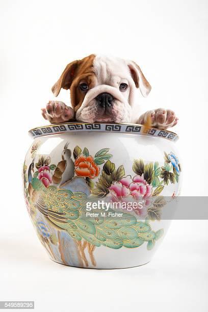 English Bulldog Puppy Inside a Vase